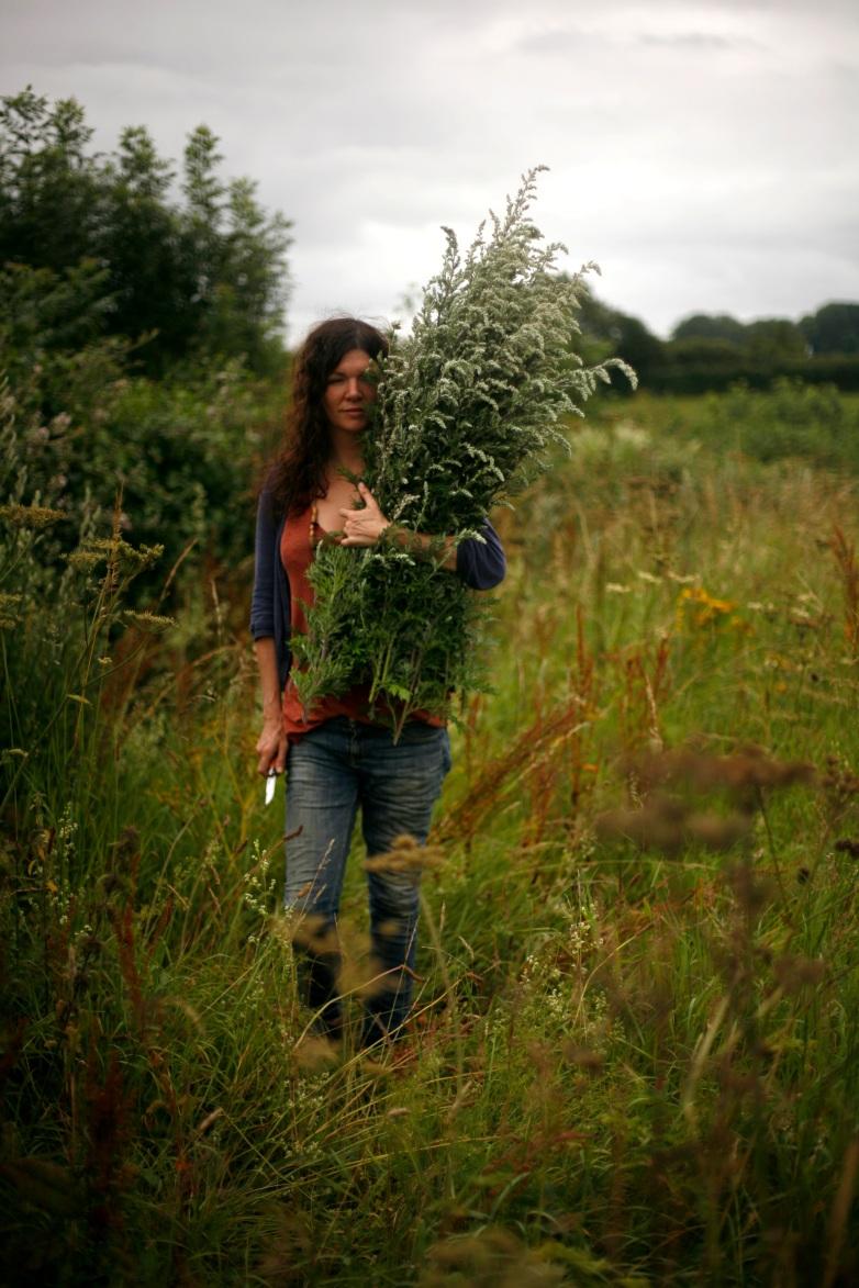 Mugwort harvesting
