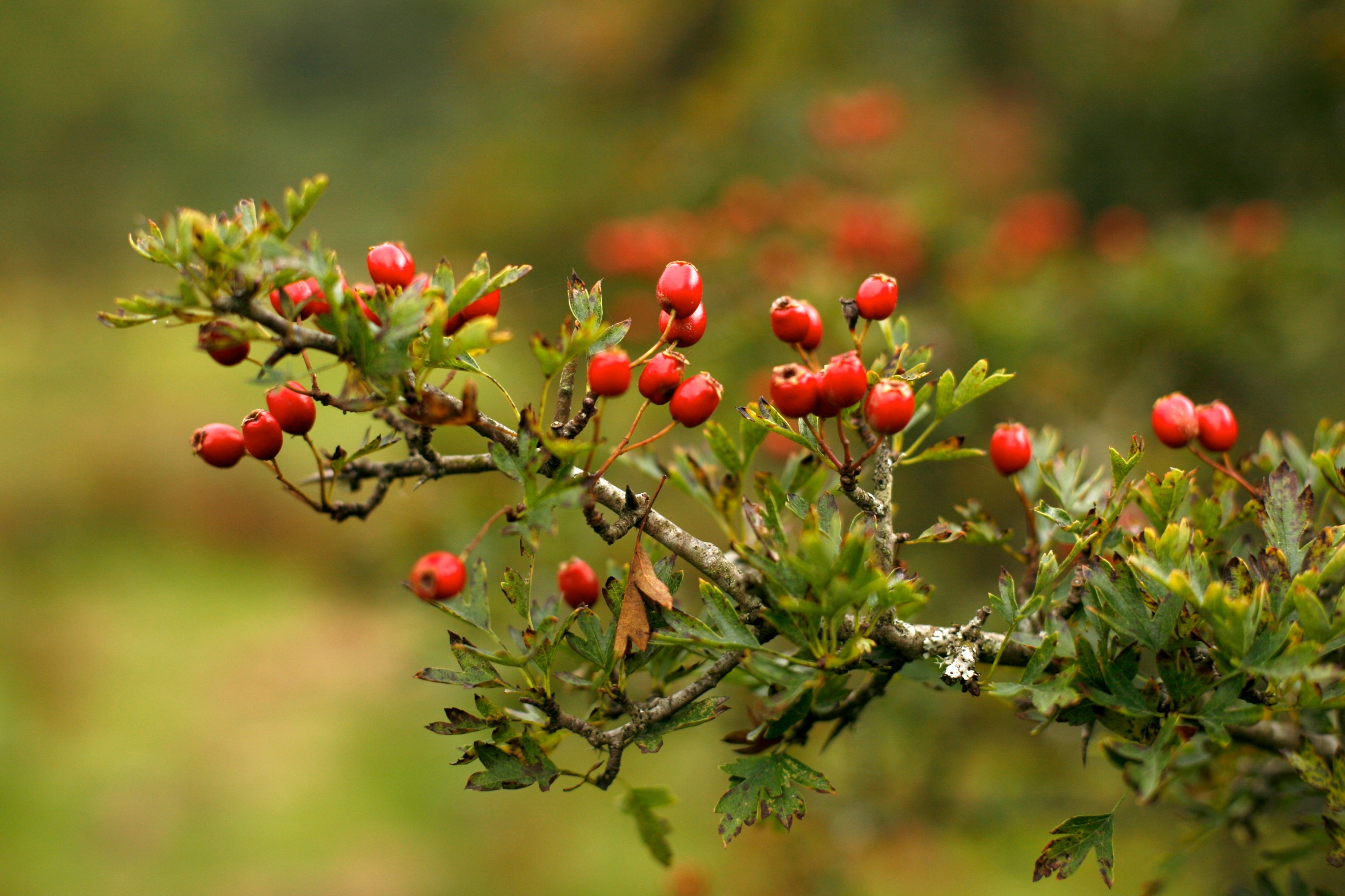 100 fruit of the hawthorn tree 11 best trees to plant for
